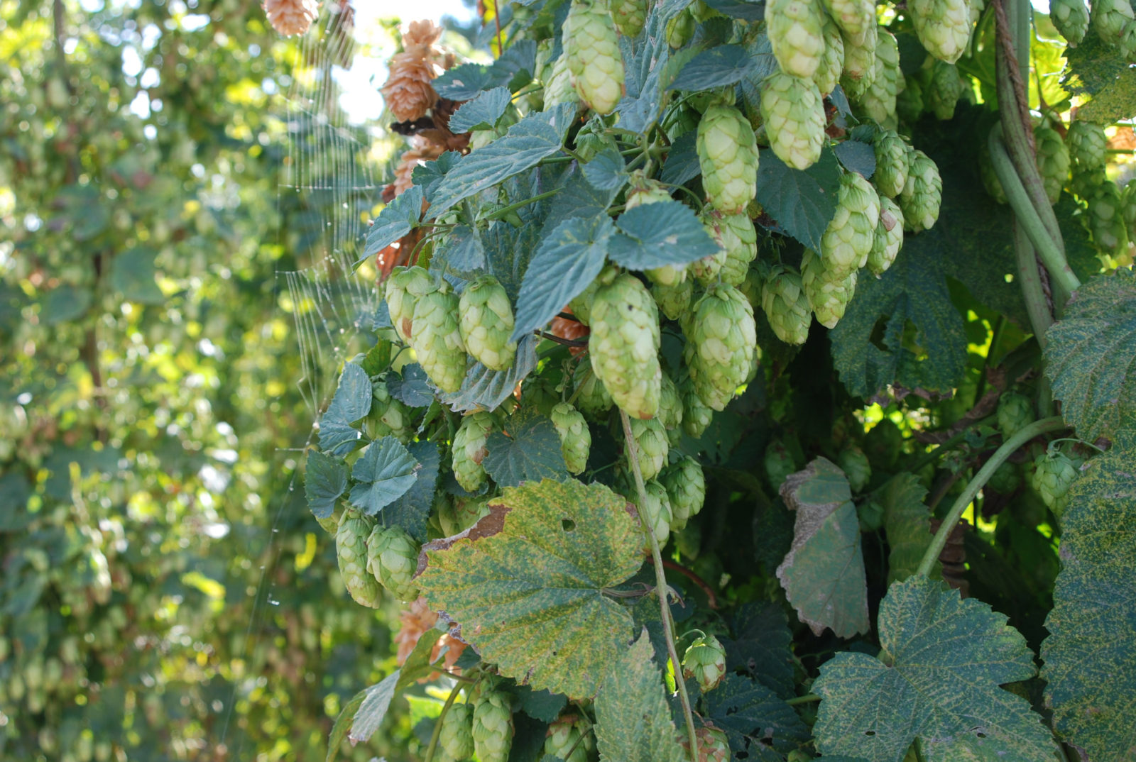 Oregon Hops, Rogue Farms, Corvalis OR